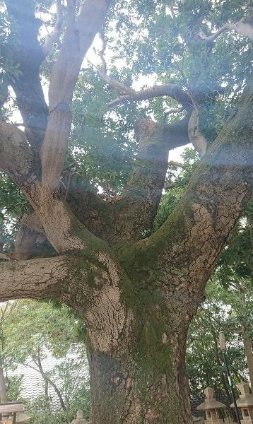 芦屋神社の御神木