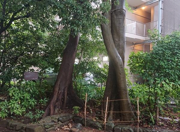 伊和志津神社の縁結びの木